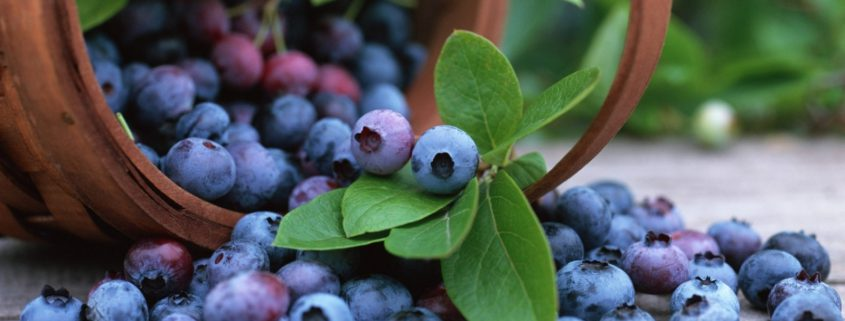 blueberry supplier